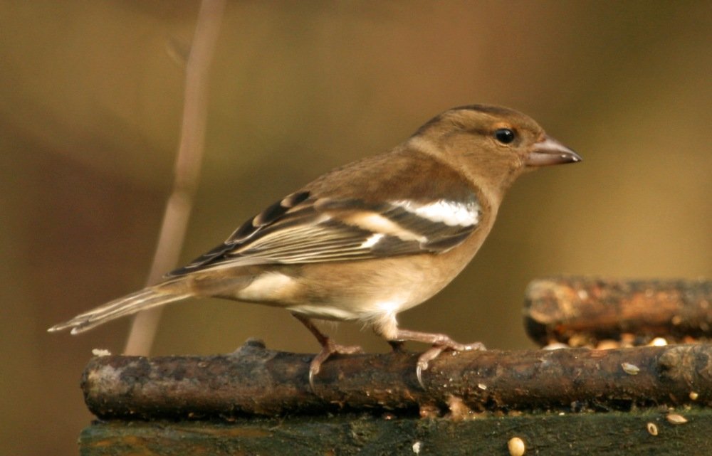 Female Chaffinch