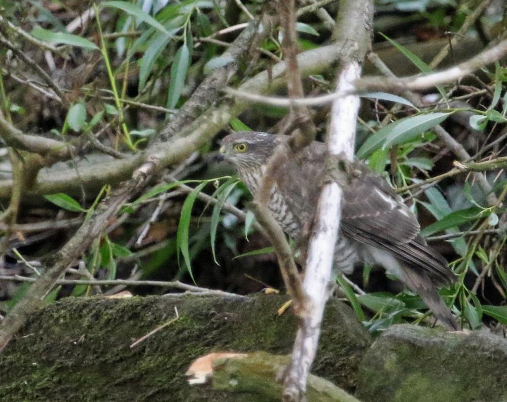 sparrowhawk1