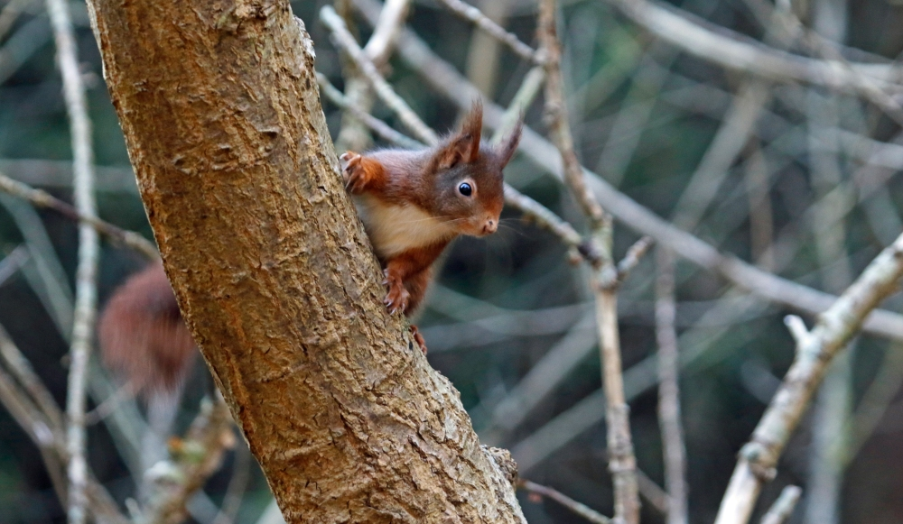 Red squirrel on the hunt for nuts