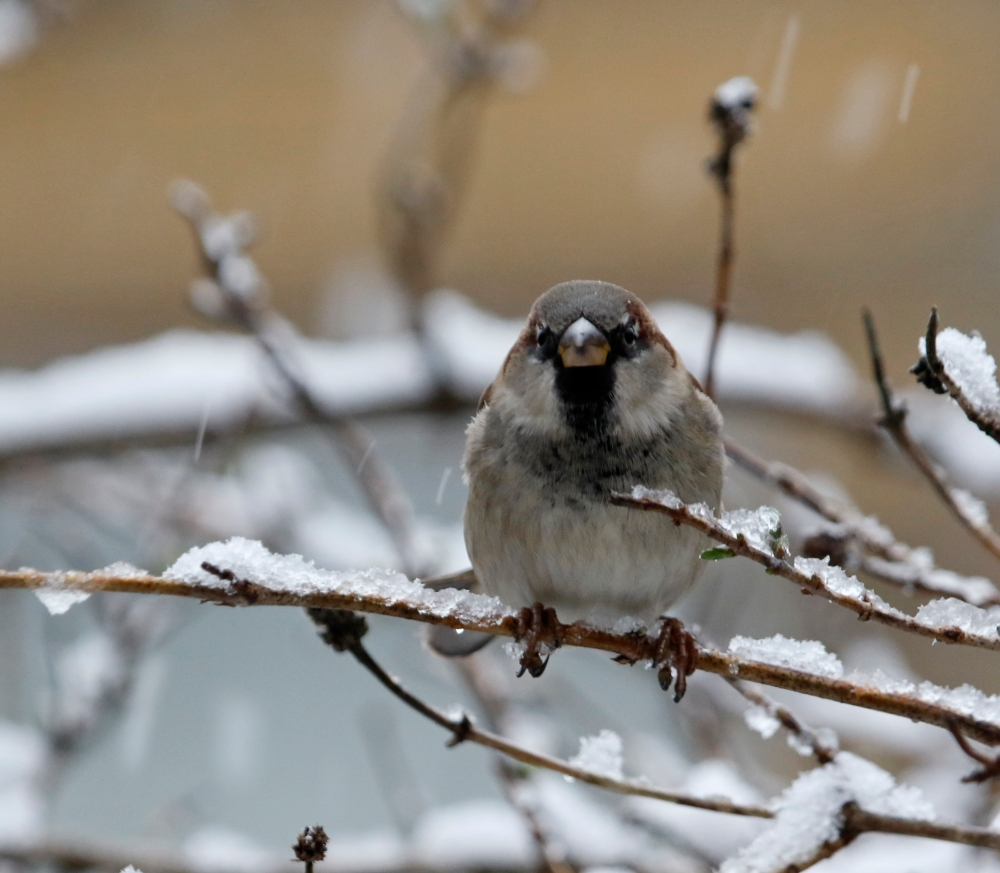 Male house sparrow in the snow.