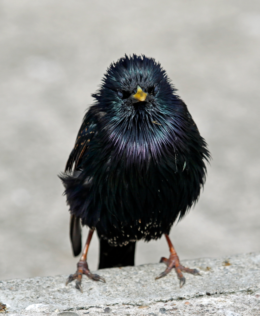 Starling with attitude