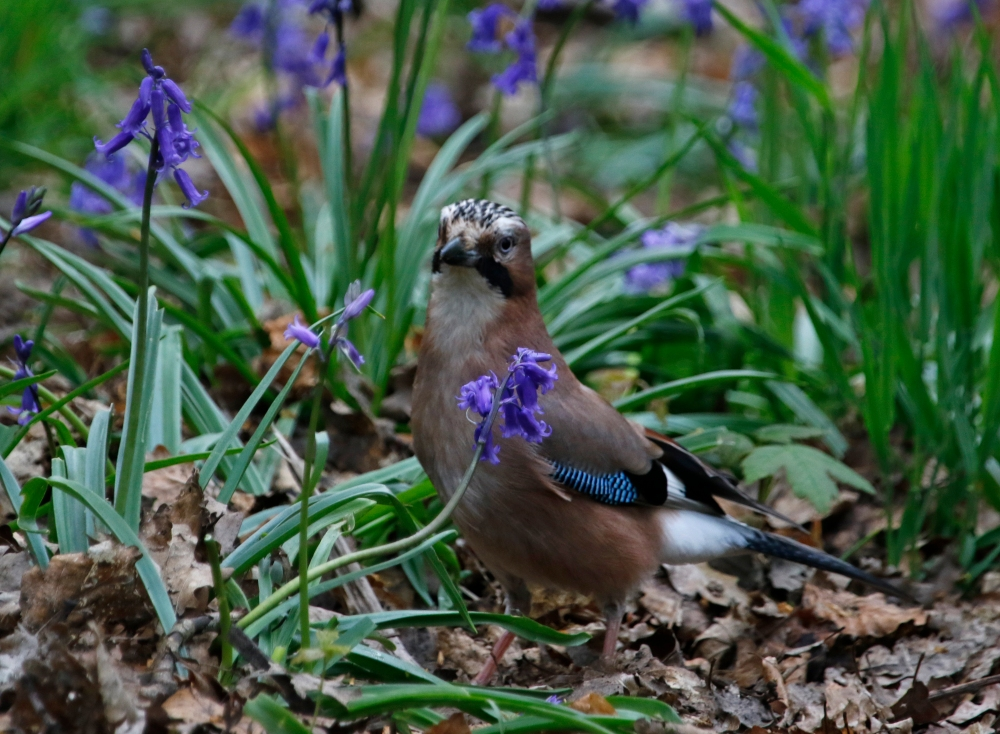 Jay amongst the bluebells