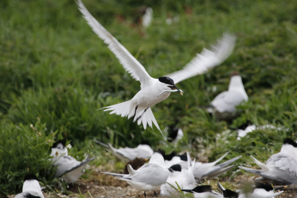 Sandwich tern returning with eel