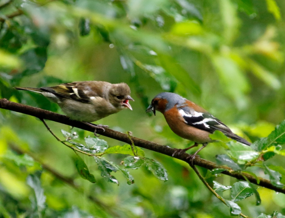 Male chaffinch feeding young