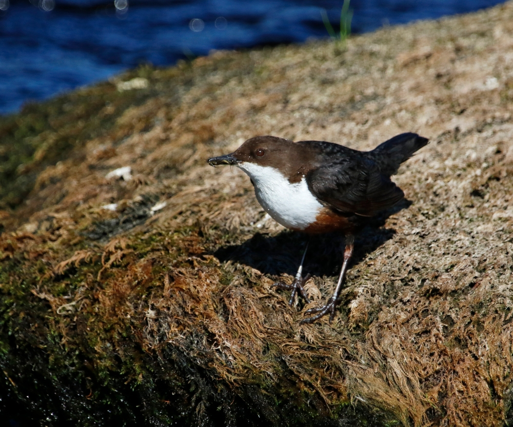 Dipper with a beakful of food for its young