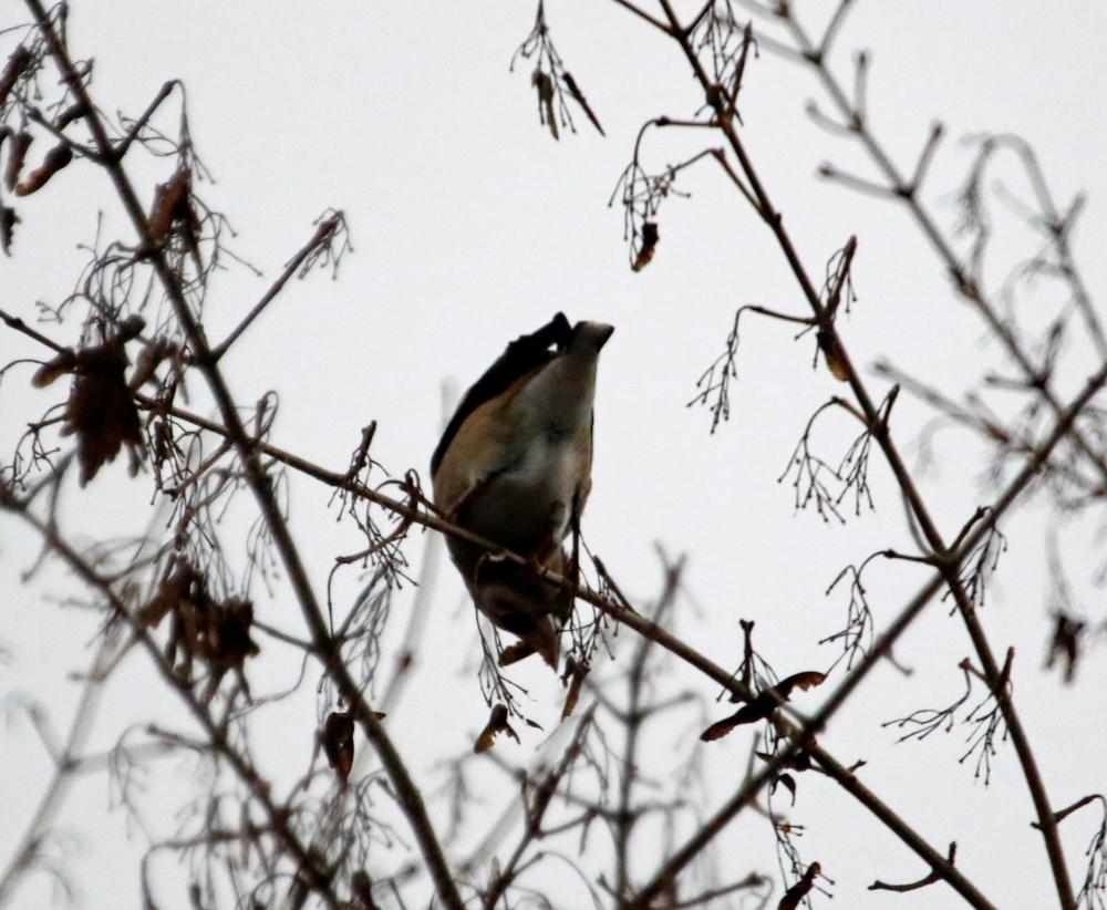 Hawfinch feeding