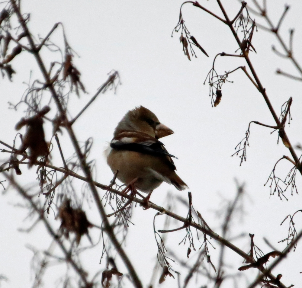 Perching hawfinch