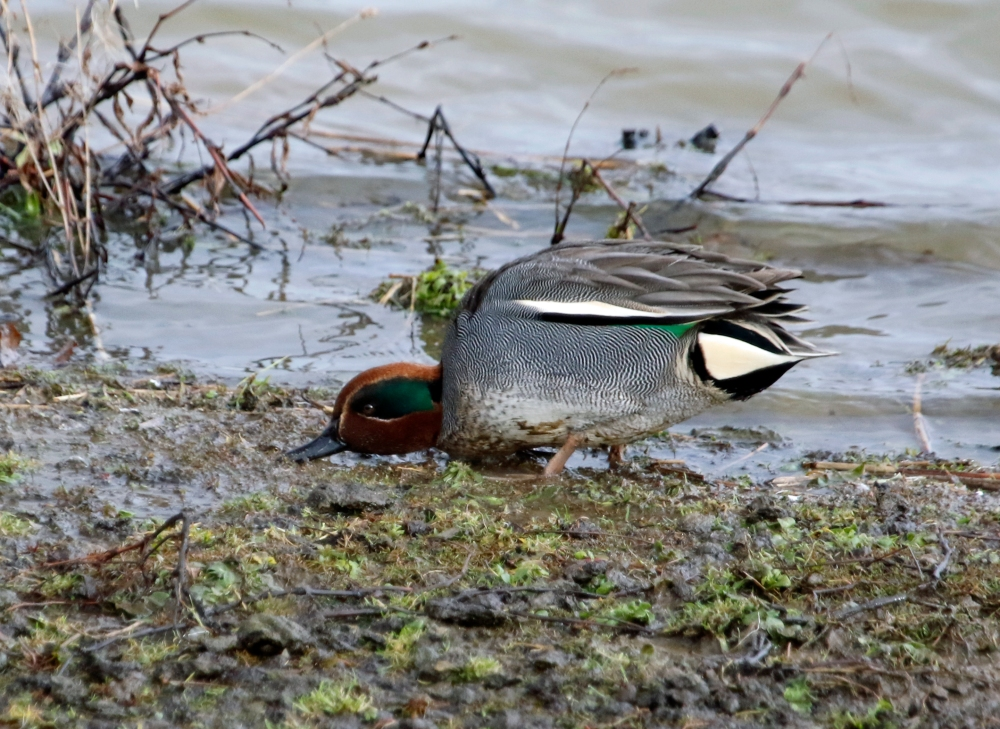 Male Teal Foraging