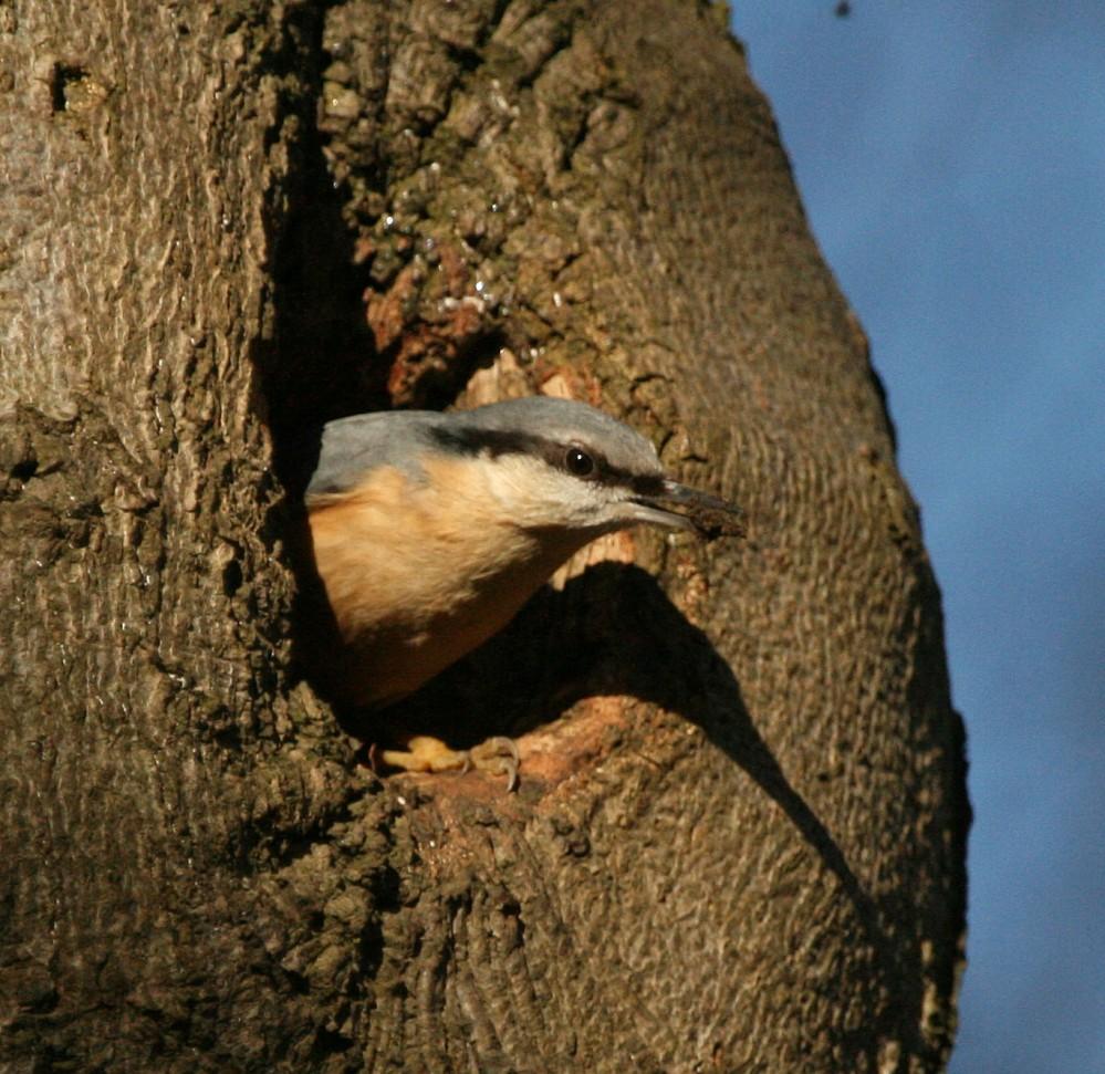 Nuthatch lining nest hole