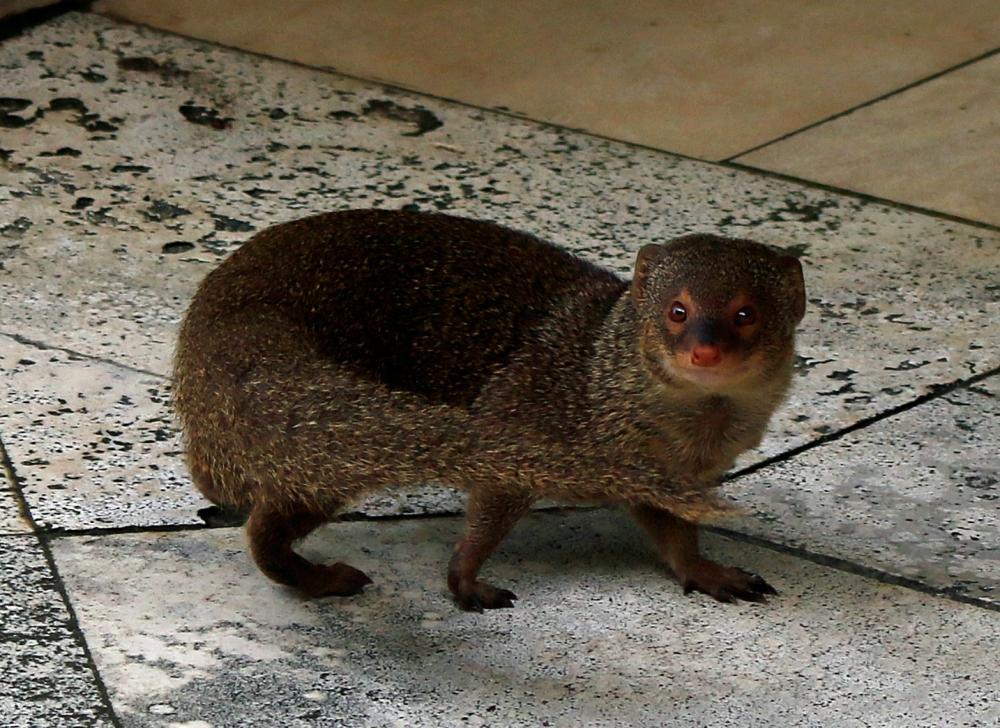 Hotel mongoose