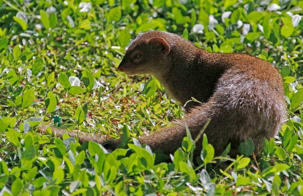 Mongoose in the grass