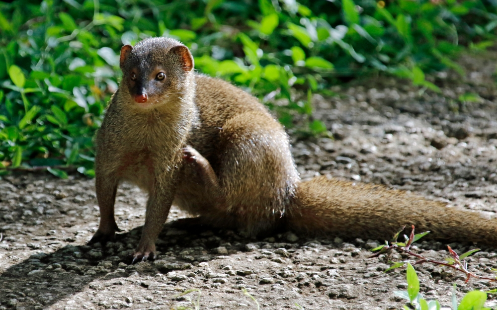 Mongoose with an itch