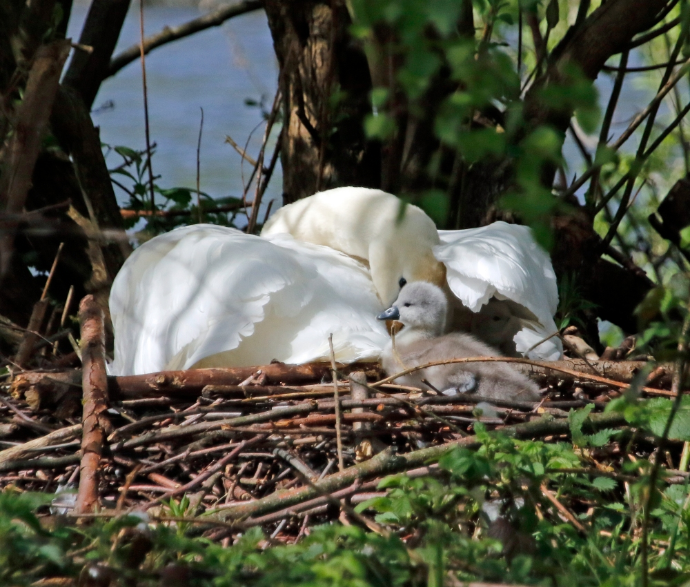 Recently hatched cygnet