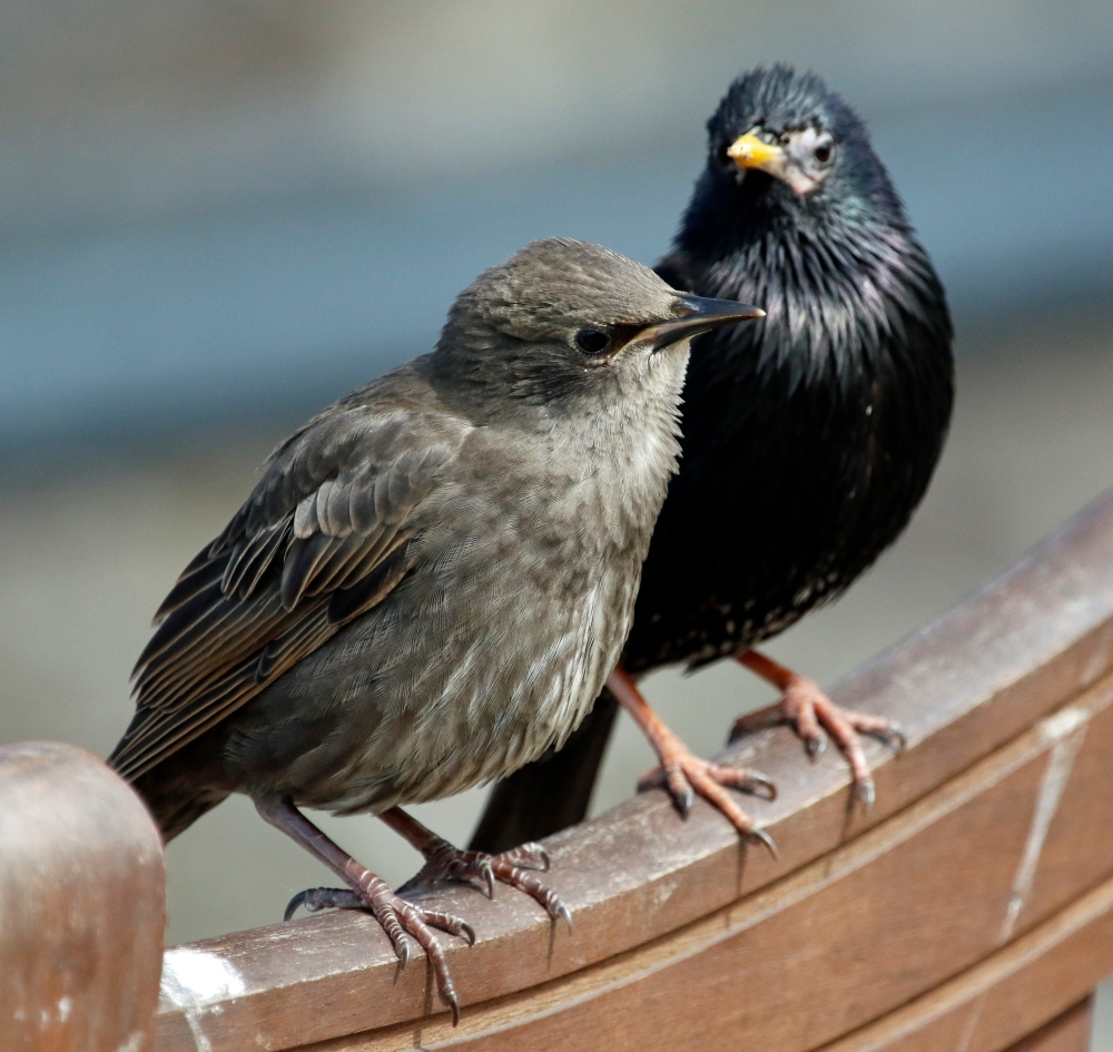 Adult and juvenile starling