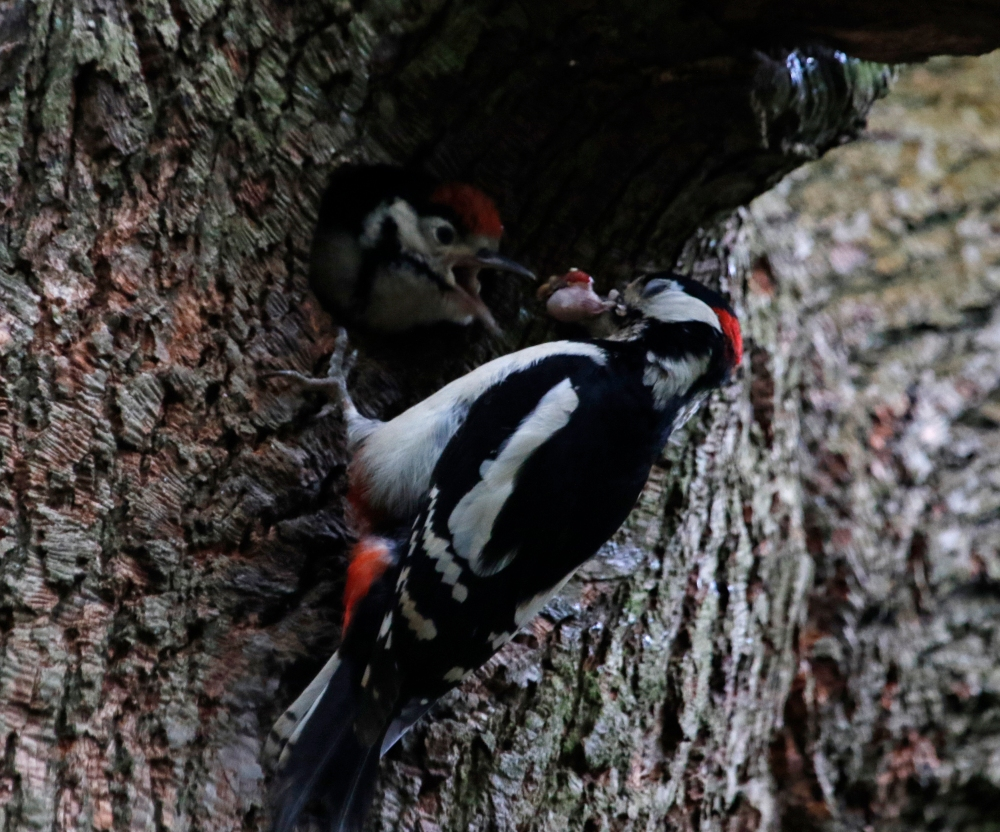 Woodpecker Feeding Young