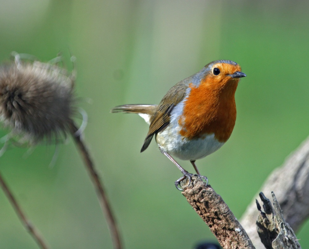 Robin looking for a mate