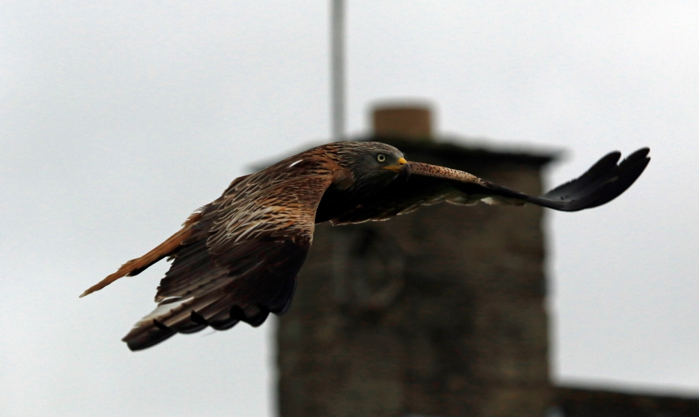 Urban Red Kite