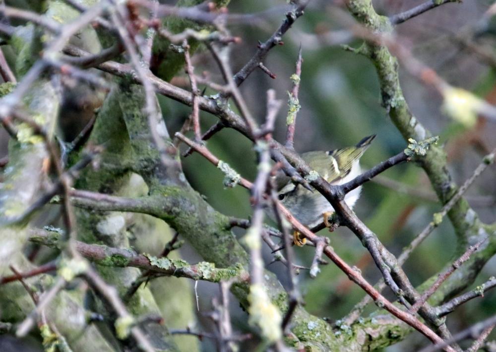 Yellow browed warbler in vegetation