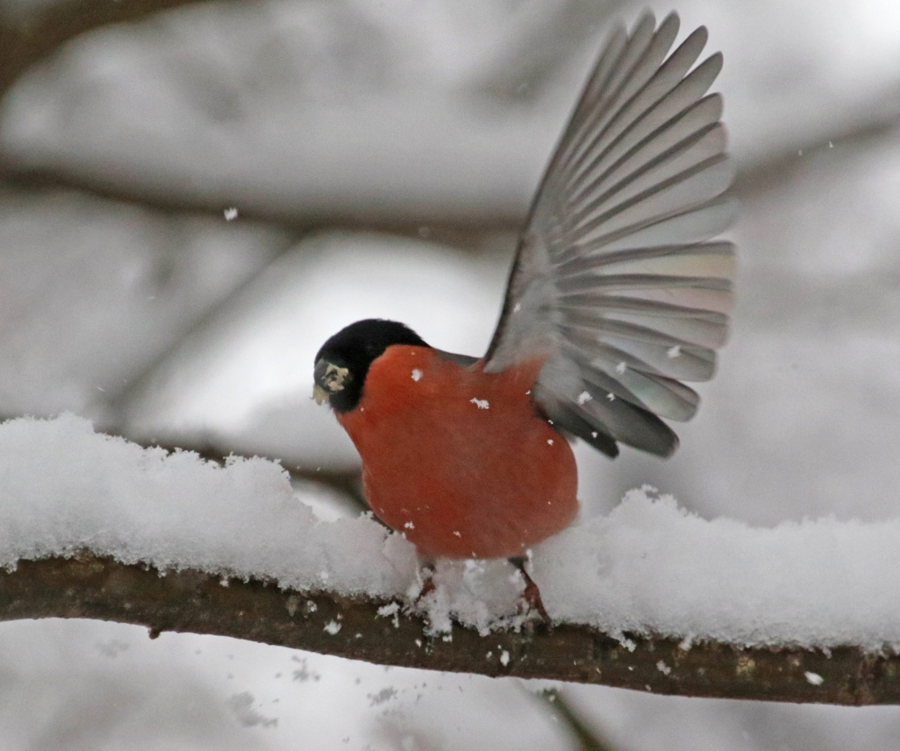 Male bullfinch in the snow