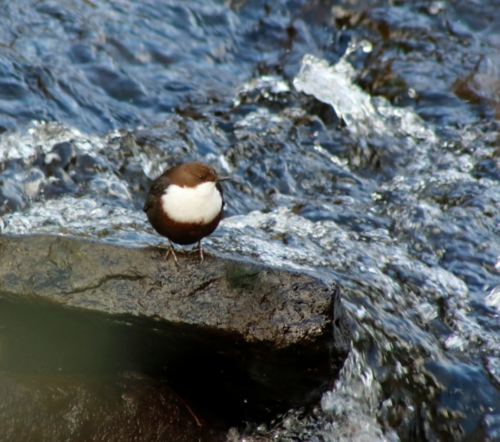 Dipper on the Hebble Brook