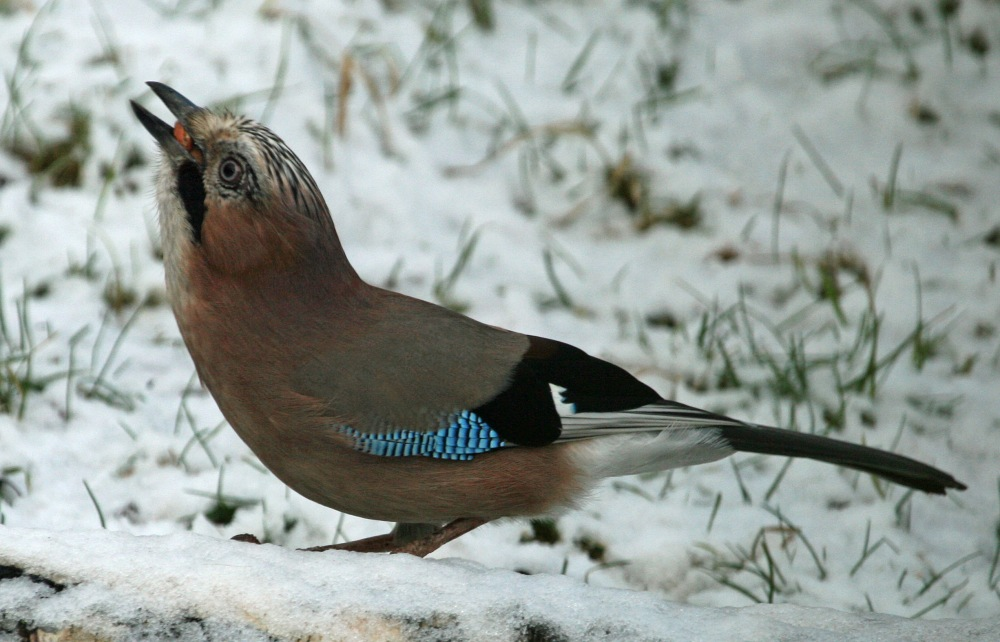 Jay Foraging in Snow