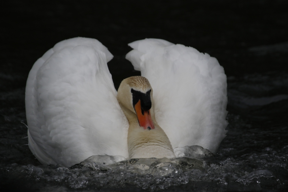 Swan showing aggression