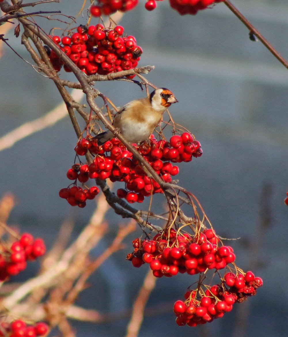 Goldfinch enjoying the berries