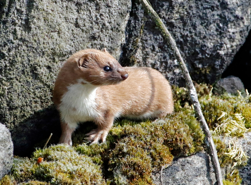 Stoat on a wall