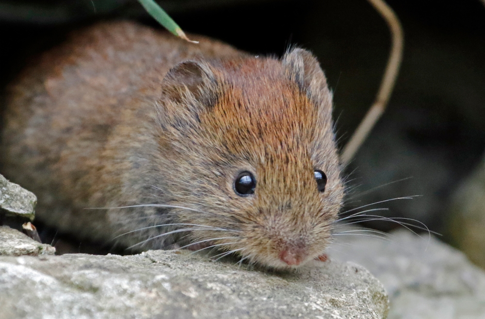 Vole in the wall
