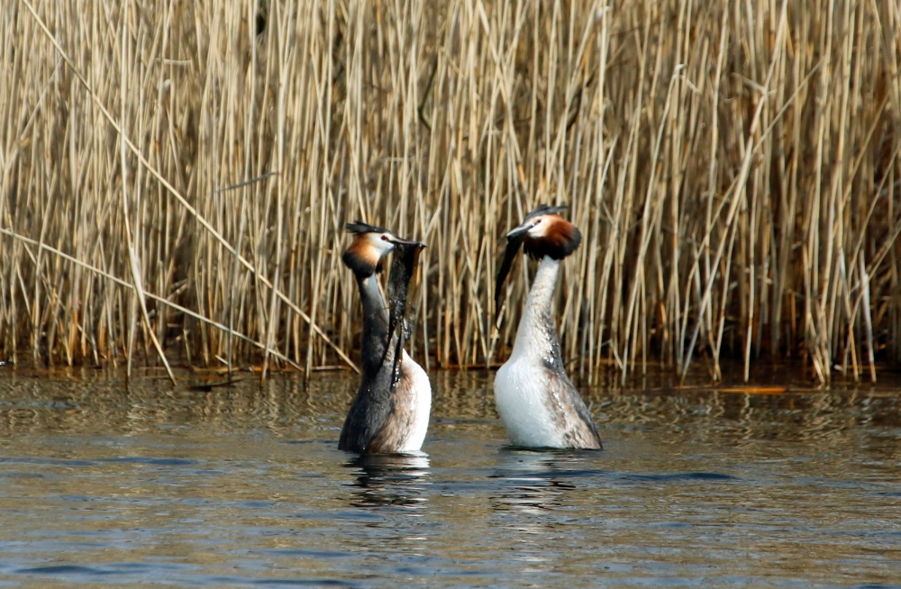 Weed dancing grebes