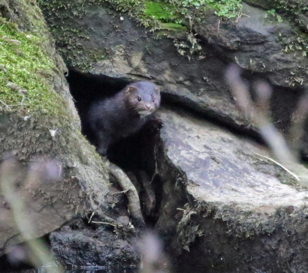 Mink on the riverbank