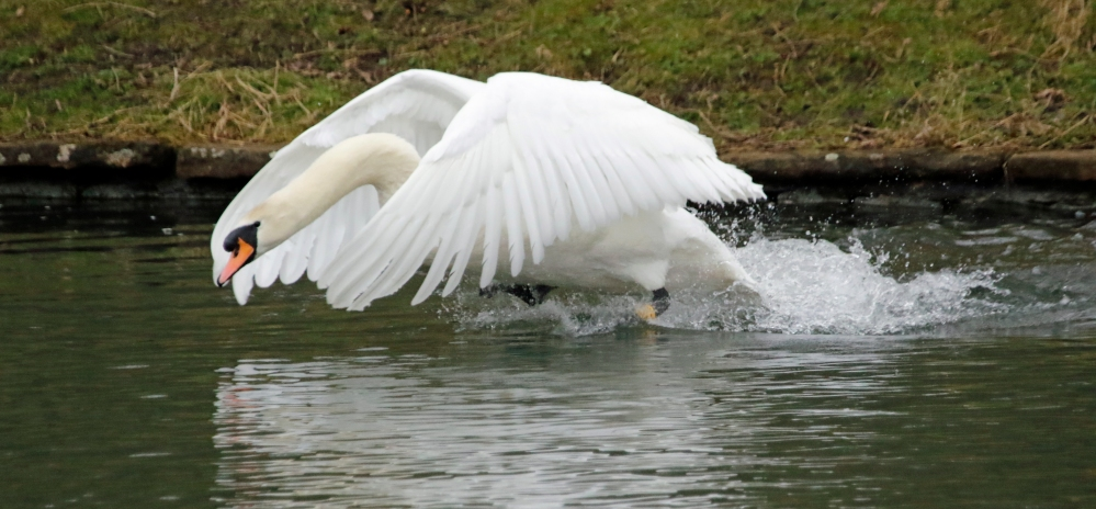 Protective swan