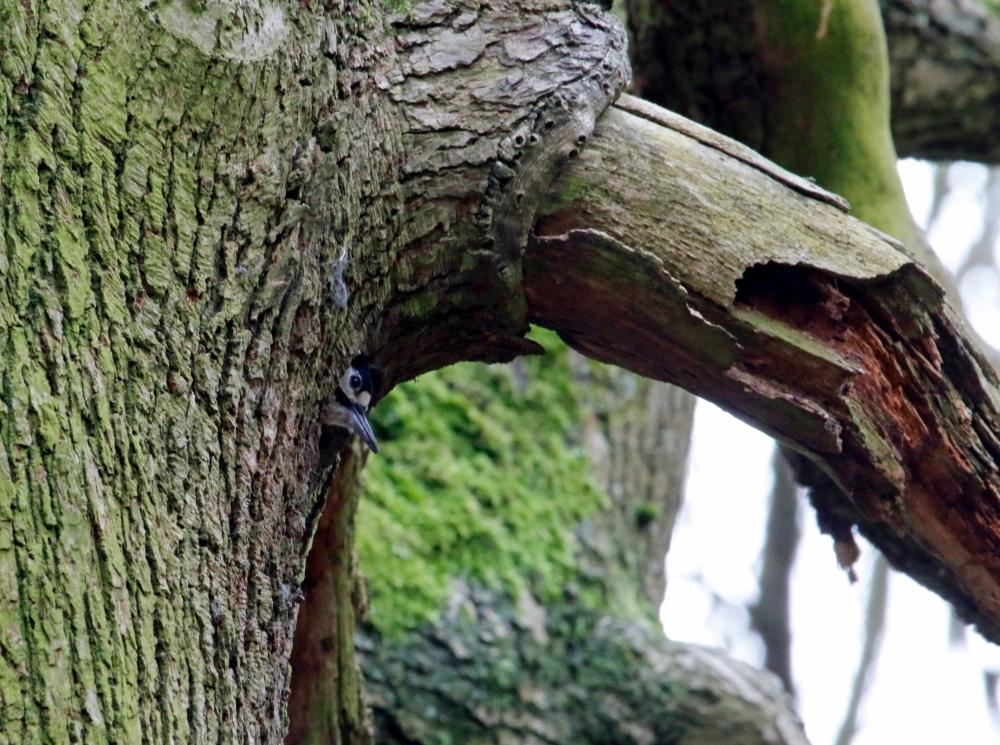 Woodpecker in nest hole