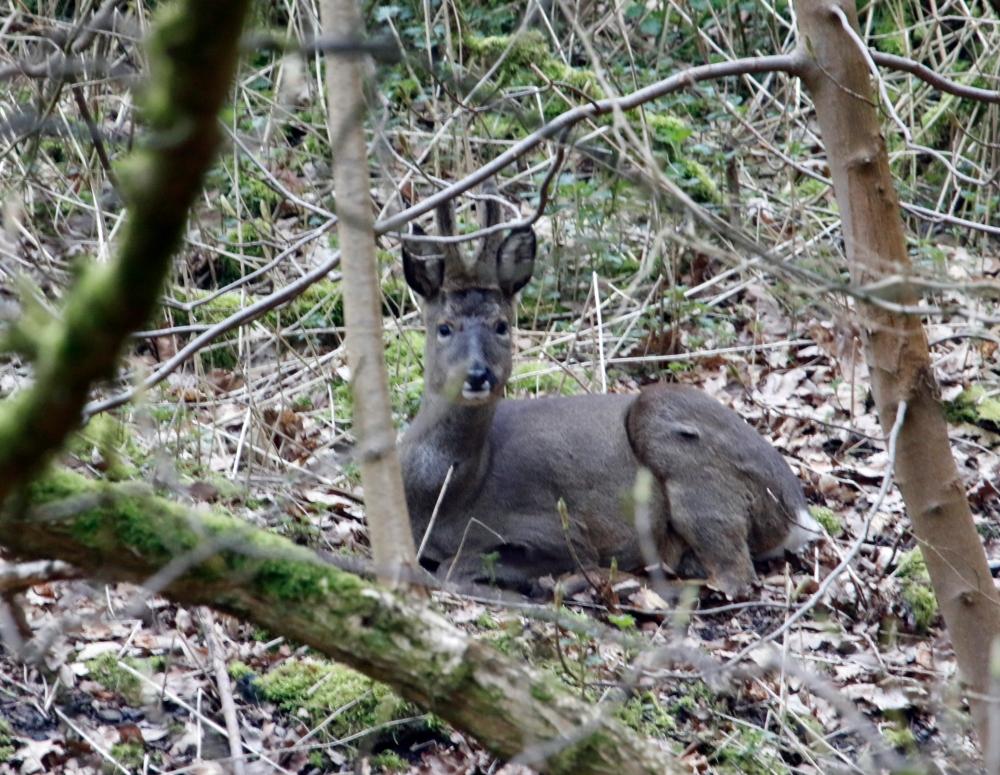 Resting roe deer