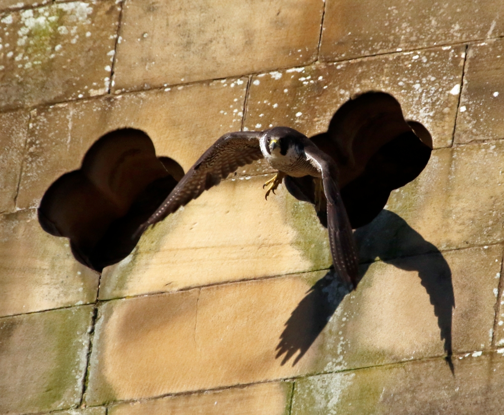 Female peregrine leaving the nest site
