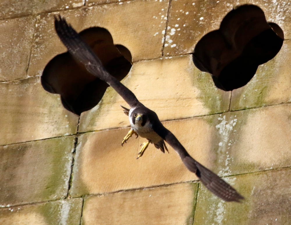 Peregrine coming right at you