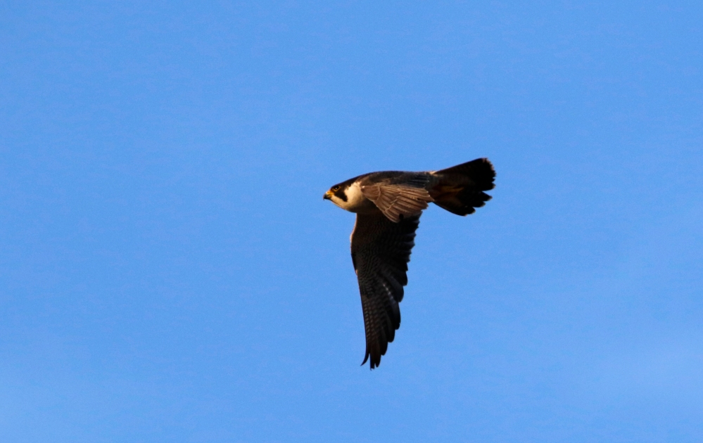 Peregrine fly by