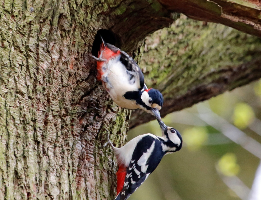 Great spotted woodpeckers at nest hole