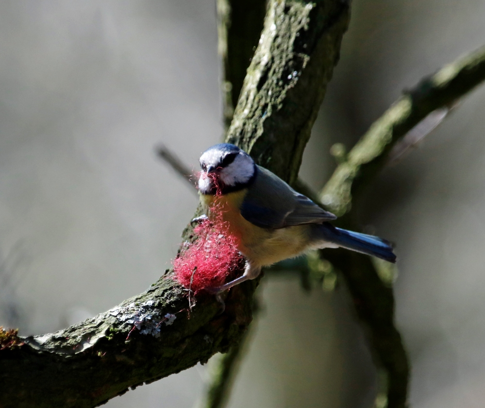 Blue tit with pink nest material