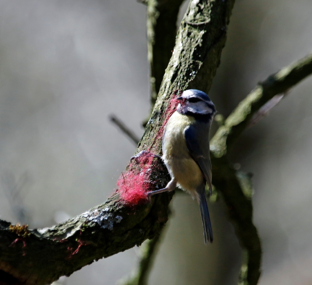 Blue tit pulling pink thread.