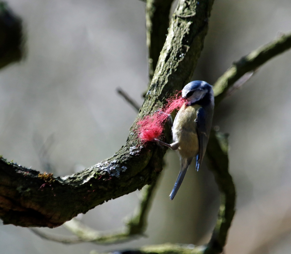 Blue tit pulling thread