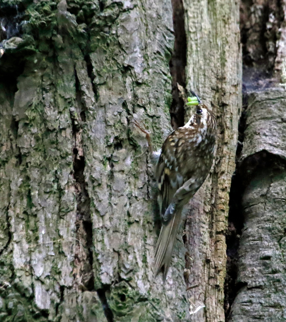 Treecreeper with caterpillars