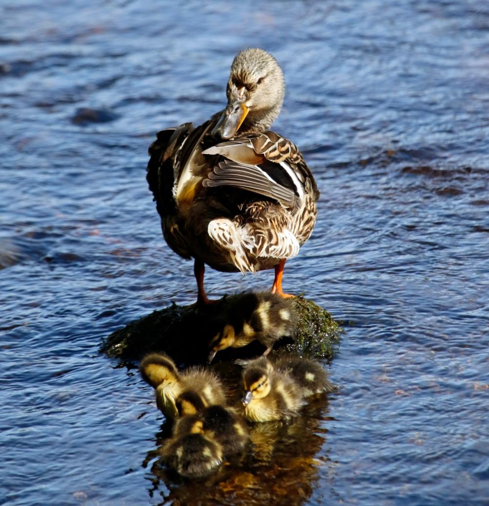 Female mallard with ducklings