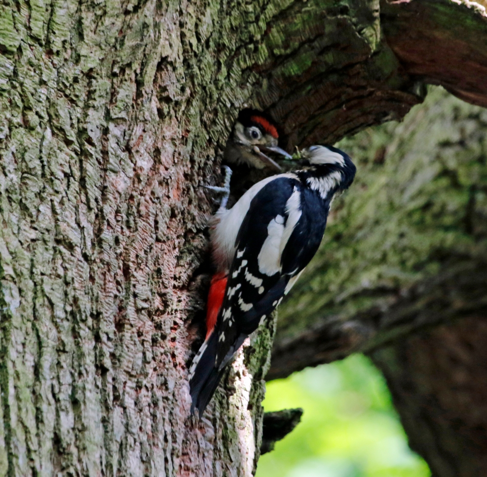 Female great spotted woodpecker feeding chick.