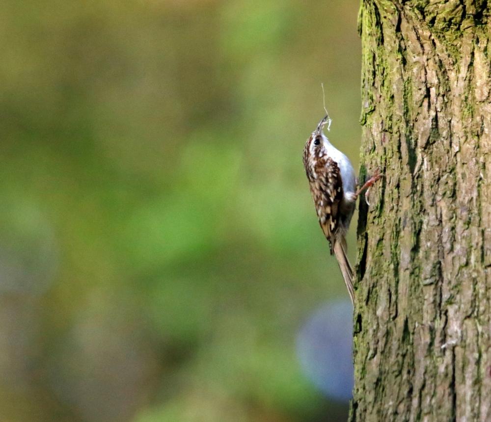 Treecreeper with nest lining