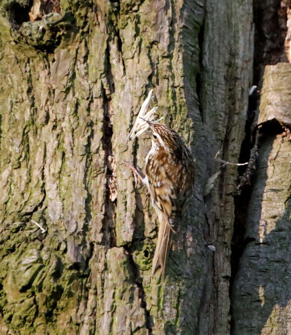Treecreeper nest building