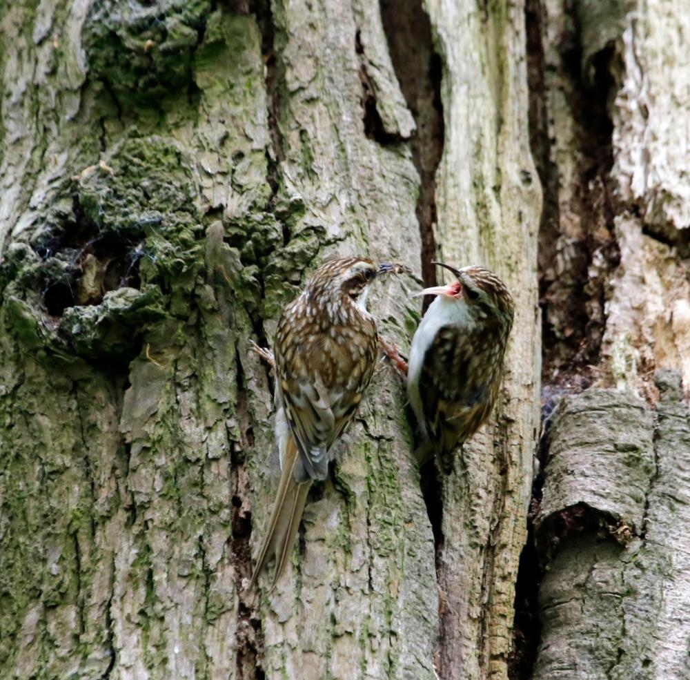 Treecreepers feeding each other