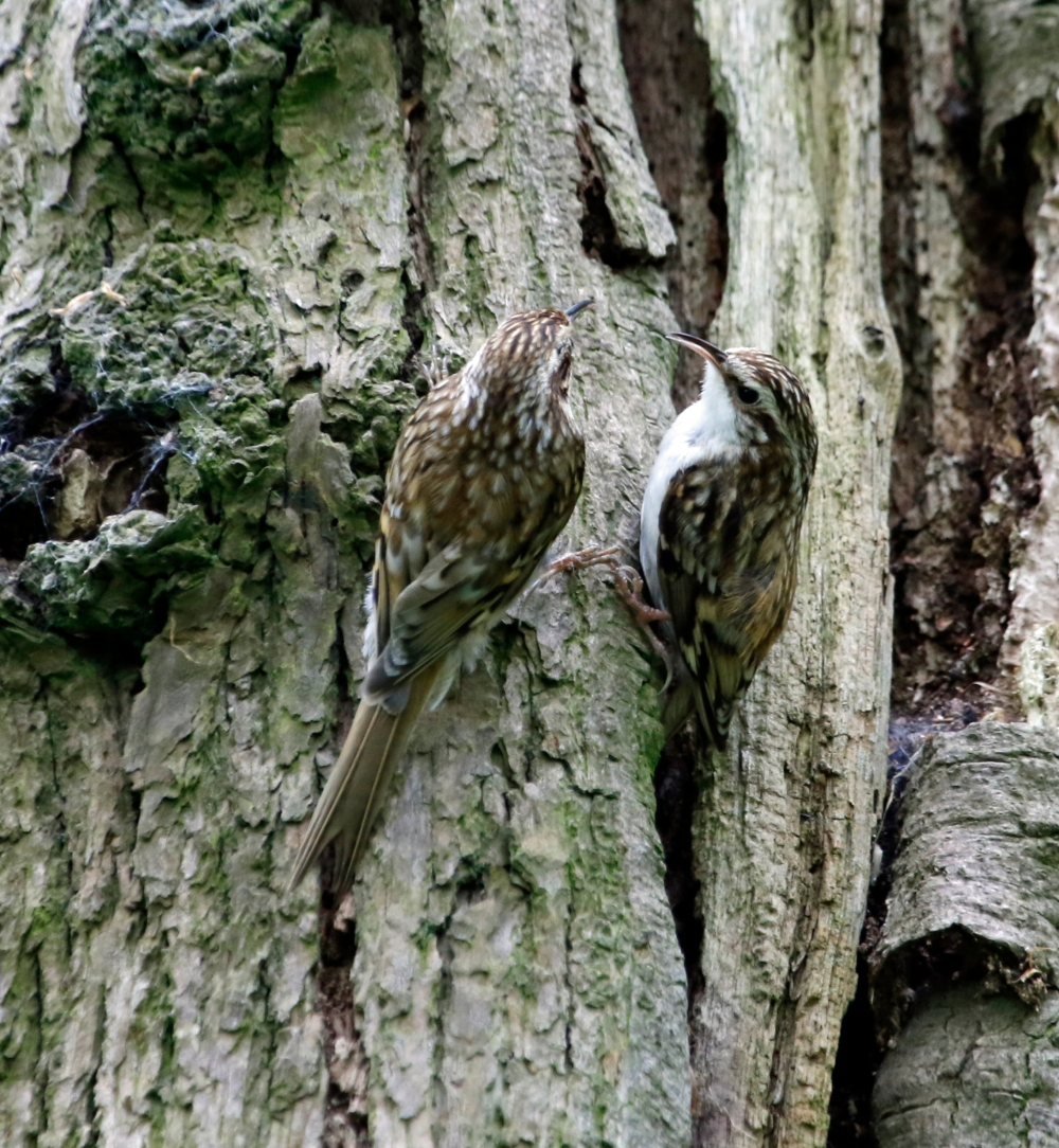 Treecreepers at nest site