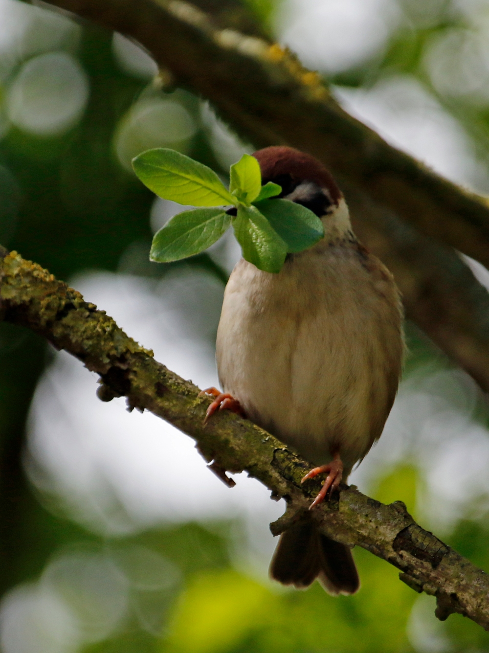 Tree sparrow collecting leaves