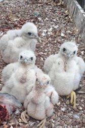 Peregrine chicks
